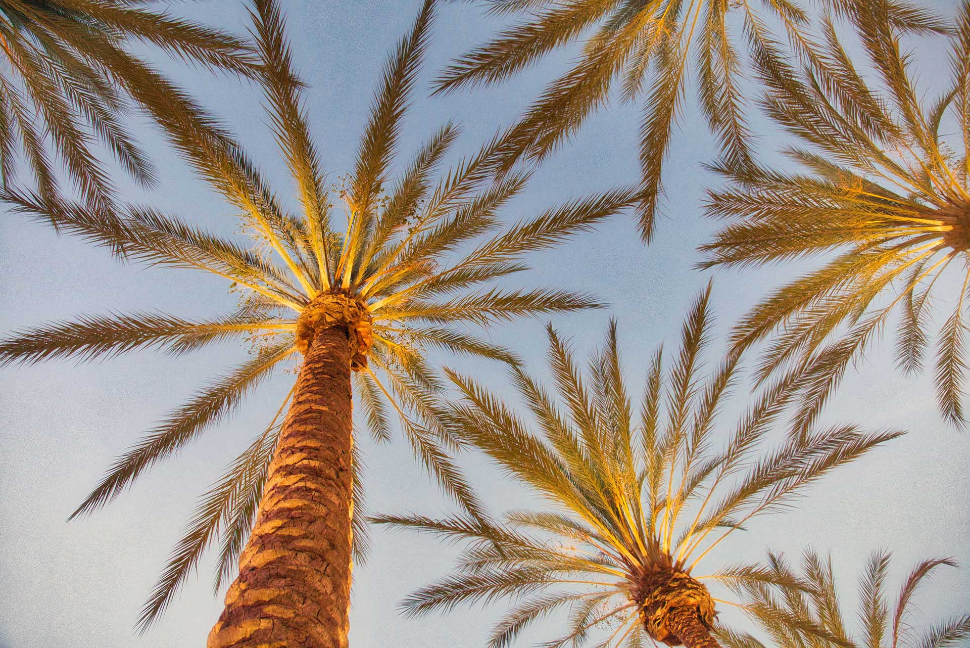 A photo of palm trees taken from below during the late afternoon